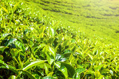 Green tea bud and fresh leaves. Tea plantations fields in Nuwara Eliya, Sri Lanka Royalty Free Stock Photos