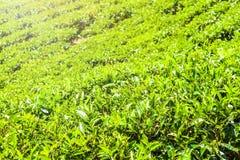 Green tea bud and fresh leaves. Tea plantations fields in Nuwara Eliya, Sri Lanka Royalty Free Stock Image