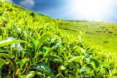 Green tea bud and fresh leaves. Tea plantations fields in Nuwara Eliya, Sri Lanka Stock Images