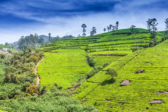 Green tea bud and fresh leaves. Tea plantations fields in Nuwara Eliya, Sri Lanka Royalty Free Stock Photography