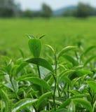 Green tea bud and leaves Stock Photo