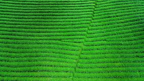 Green tea bud and leaves. Green tea plantations in morning Stock Photos
