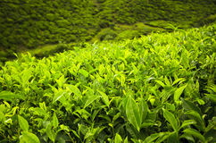 Green tea bud and leaves. Tea plantations Stock Image