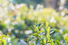 Green tea bud and leaves Royalty Free Stock Image