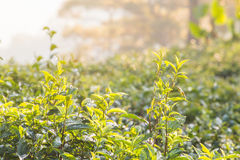 Green tea bud and leaves Stock Images