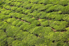 Green tea bush background Royalty Free Stock Images