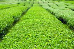 Green tea bushes at green-tea plantation of Jeju Island - South Korea Royalty Free Stock Photos
