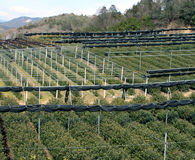 Green tea culture. Overview of a field of tea in the Uji region,Japan Stock Photography