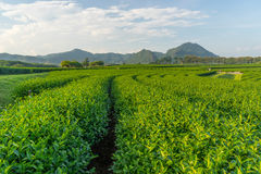 Green tea curve with mountain background, Chiang Rai, Thailand Stock Image