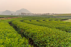 Green tea curve and mountains Stock Photography