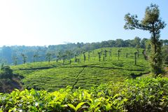 Green Tea Estate hill with clean cloud stock image