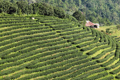 Green Tea Farm Royalty Free Stock Photography