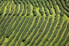 Green Tea Farm Royalty Free Stock Photos