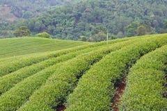 Green tea farm Royalty Free Stock Images