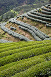 Green Tea Farm Stock Photography