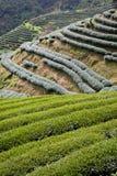 Green tea farm Stock Photography