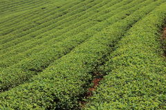 Green Tea Farm. Rows of green tea in farm Stock Images