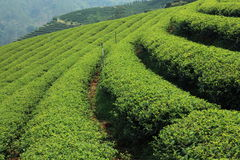 Green Tea Farm. Rows and slope of green tea in farm Royalty Free Stock Images