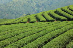 Green Tea Farm. Rows of green tea in farm Stock Photo