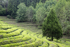Green tea farm Stock Images