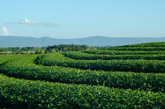 Green tea farm and blue sky Stock Photo