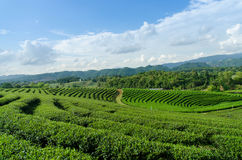 Green tea farm Royalty Free Stock Photo