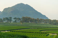 Green tea farm curve on hill, Chiang Rai, Thailand Royalty Free Stock Photos