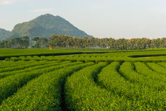 Green tea farm curve and mountain, Chiang Rai, Thailand Royalty Free Stock Image