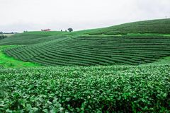 Tea farm with nature. Royalty Free Stock Photos