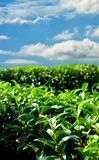 Green tea farm on hill with blue sky Stock Images