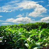 Green tea farm on hill with blue sky Stock Photo