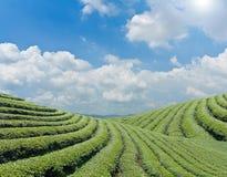 Green tea farm on a hillside Stock Photos