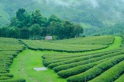 Green tea farm on moutain. With white fog Stock Photos