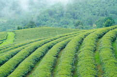 Green tea farm on moutain. With white fog Royalty Free Stock Photography
