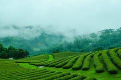 Green tea farm on moutain. With white fog Stock Photography