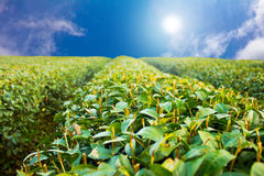 Green Tea Farm. Green tea farm with natural sunlight and blue sky Royalty Free Stock Images