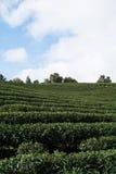 Green tea farm Royalty Free Stock Photography