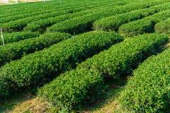 Green Tea Farm Stock Images