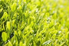 Green tea farm. In Shizuoka prefecture ,Japan Royalty Free Stock Photo