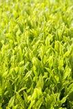 Green tea farm. In Shizuoka prefecture ,Japan Stock Photography