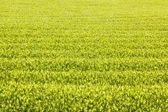 Green tea farm. In Shizuoka prefecture ,Japan Royalty Free Stock Image