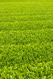 Green tea farm. In spring Royalty Free Stock Photos