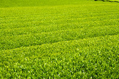 Green tea farm. In spring Stock Image