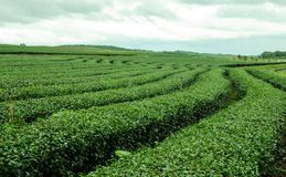 Green tea farm. Stock Photo
