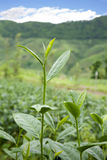 Green Tea Farm Stock Photo