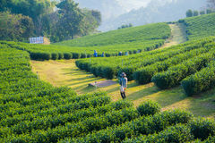 Green tea. Farm of Thailand Stock Images