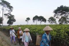 Green tea. Farmer walking in Green tea on the kemuning, karanganyar, central java, tea field Stock Photo