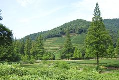Green tea feilds, China. Tea fields in a tea village in mainland China Royalty Free Stock Images