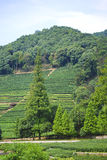 Green tea feilds, China. Tea fields in a tea village in mainland China Stock Photo
