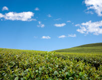 Green tea field. With blue sky Royalty Free Stock Photography